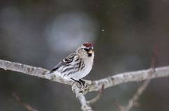 Common redpoll Stock Photography