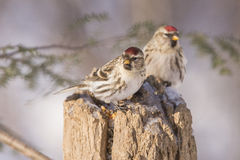 Common Redpoll pair Royalty Free Stock Photography