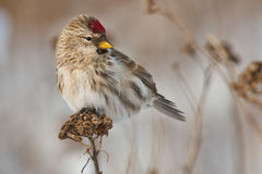 Common Redpoll Royalty Free Stock Photo
