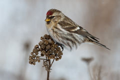 Common Redpoll Royalty Free Stock Images
