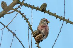 Common redpoll perching on larch twig with cones against clear blue sky stock image