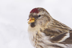Common Redpoll portrait Royalty Free Stock Image