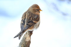 Common redpoll Royalty Free Stock Photos