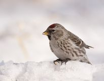 Common Redpoll on snow Royalty Free Stock Photography