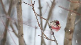 Common Redpoll in the snow stock video