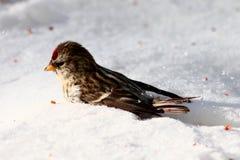 Common redpoll Stock Image