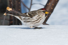 Common Redpoll Stock Images