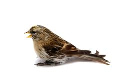 Common Redpoll on white Stock Photo