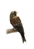 Common Redpoll on white Stock Images