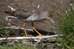 Common redshank Royalty Free Stock Image