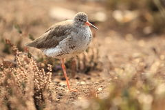 Common redshank Stock Photos