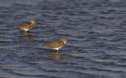 Common Redshank. Two redshanks are looking for food on a pond Royalty Free Stock Photo