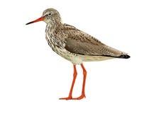 Common Redshank Royalty Free Stock Image