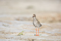 Common redshank at the beach Royalty Free Stock Photo
