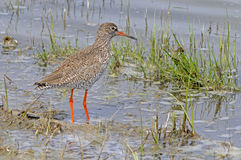 Common Redshank bird Royalty Free Stock Photography