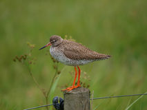 Common Redshank Bird on Pole Stock Photos