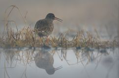 Common Redshank calling very loudly near water in the early foggy morning stock photo