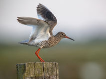 Common Redshank flying off Royalty Free Stock Images