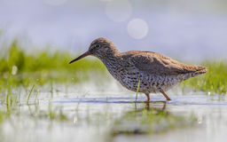 Common redshank foraging in wetland stock images