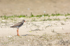 Common Redshank Royalty Free Stock Photos