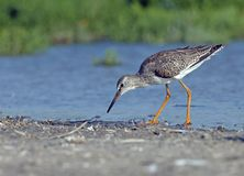 Common redshank russia Stock Images