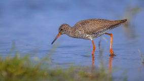 Common Redshank in shallow water Royalty Free Stock Images