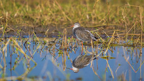 The Common Redshank, bird with reflection in water Stock Images