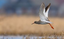 Common Redshank in speedy flight over yellow grass and waterpond with fully lifted wings legs and tail stock images
