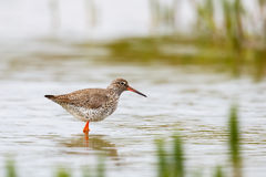 Common Redshank standing in shallow water Royalty Free Stock Photo