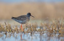 Common Redshank posing alone on the shore in shallow waters. Common Redshank stands lonely on the shore in shallow waters royalty free stock image