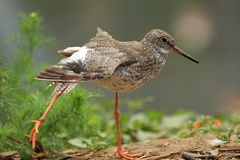 Common redshank Stock Images