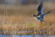 Common Redshank in take off flight over swamp and waterpond with fully spreaded wings and long legs with splash of water stock photography