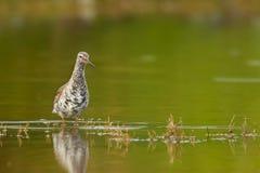 Common Redshank - Tringa erythropus Stock Images