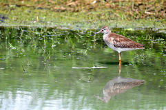Common Redshank (Tringa glareola ) Stock Image