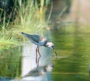 Common redshank (tringa tatonus) stock image