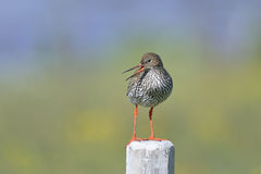 Common redshank, tringa totanus Stock Image