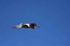 Common Redshank - Tringa totanus Stock Photos