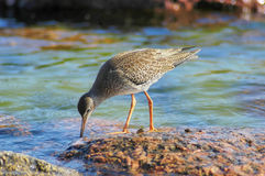 Common redshank (Tringa totanus) Stock Images