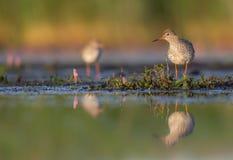 Common Redshank - Tringa totanus Stock Photography