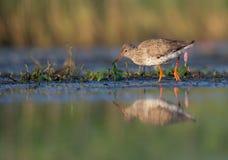 Common Redshank - Tringa totanus Royalty Free Stock Photo