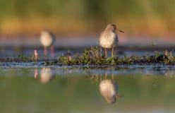 Common Redshank - Tringa totanus Royalty Free Stock Images