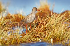 Common redshank,Tringa totanus, in nature habitat, grass water in march. Eurasian wader, sanny day near the lake, Sweden. Bird in. Envormonet, wildlife Europe stock photography