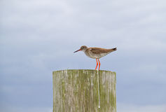 Common redshank Stock Photo