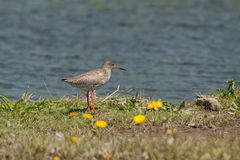 Common Redshank Tringa totanus. The common redshank or simply redshank Tringa totanus is a Eurasian wader in the large family Scolopacidae. The genus name Tringa Royalty Free Stock Image