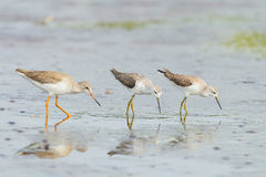 Common Redshank stock image