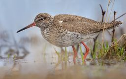 Common Redshank very close large shot in water of lake in high dimension royalty free stock photos
