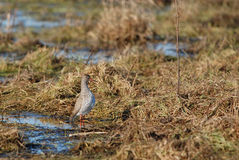 Common Redshank. Wading on a boggy field Royalty Free Stock Images