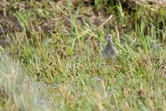 Common Redshank Royalty Free Stock Photo