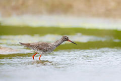 Common Redshank wading in shallow water Royalty Free Stock Images