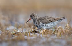 Common Redshank walks through shallow waters in search of worms in early spring royalty free stock images